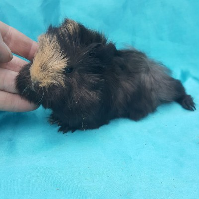 021-0132 Ginepig Peruvian Guinea Pig Erkek