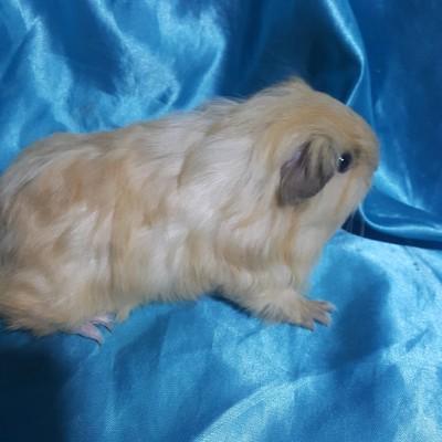 021-0213 Ginepig Sheltie Guinea Pig Erkek Sahiplendirildi Gönen
