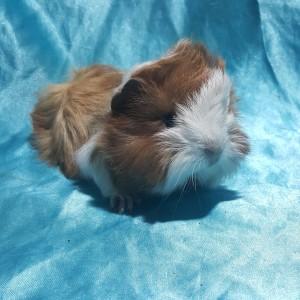021-0234 Ginepig Peruvian Guinea Pig Dişi