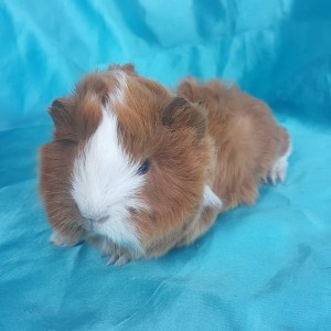 021-0303 Ginepig Peruvian Guinea Pig Erkek
