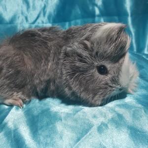 021-0339 Ginepig Peruvian Guinea Pig Erkek Sahiplendirildi Kayseri