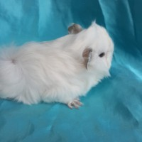 021-0403 Ginepig Peruvian Guinea Pig Erkek