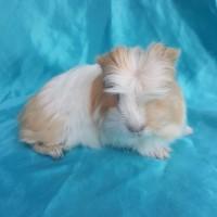 021-0405 Ginepig Coronet Guinea Pig Erkek