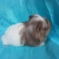 021-0406 Ginepig Coronet Guinea Pig Erkek