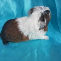 021-0408 Ginepig Coronet Guinea Pig Erkek