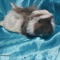 021-0413 Gönderim Ücreti Karşılığı Ücretsiz Ginepig Peruvian Mix Guinea Pig Erkek Yetişkine Yakın  (Yol + 0.5 kg yem BİZDEN)