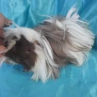 021-0413 Ginepig Peruvian Mix Guinea Pig Erkek Yetişkine Yakın Rezerve Adapazarı