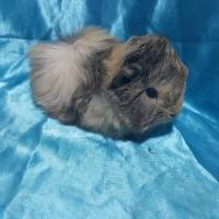 021-0504 Ginepig Peruvian Guinea Pig Erkek