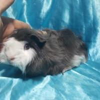 021-0506 Gönderim Ücreti Karşılığı Ücretsiz Ginepig Peruvian Mix Guinea Pig Erkek Yetişkine Yakın  (Yol + 0.5 kg yem BİZDEN)