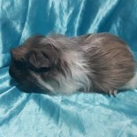 021-0507 Ginepig Coronet Guinea Pig Erkek