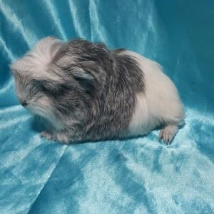 021-0524 Ginepig Coronet Guinea Pig Dişi