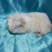 021-0527 Ginepig Coronet Guinea Pig Dişi