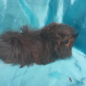 021-0602 Ginepig Peruvian Guinea Pig Erkek