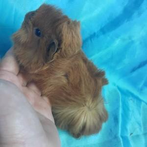 021-0604 Ginepig Peruvian Guinea Pig Erkek
