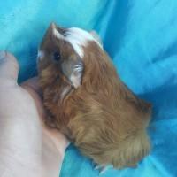 021-0609 Ginepig Peruvian Guinea Pig Erkek