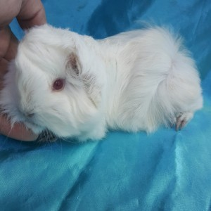 021-0610 Ginepig Peruvian Guinea Pig Erkek