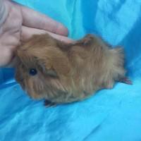 021-0611 Ginepig Peruvian Guinea Pig Erkek Tek Renk