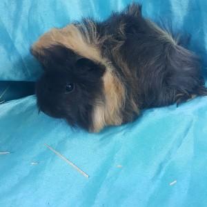 021-0708 Ginepig Peruvian Guinea Pig