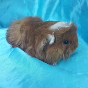 021-0711 Ginepig Peruvian Guinea Pig Dişi