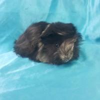021-0803 Ginepig Peruvian Guinea Pig Erkek