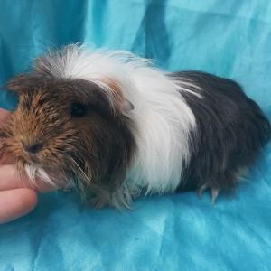 021-0904 Ginepig Coronet Guinea Pig Erkek