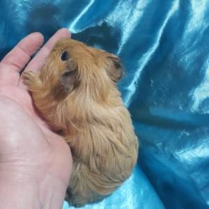 021-0905 Ginepig Sheltie Guinea Pig Erkek