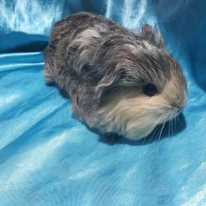 021-0906 Ginepig Sheltie Guinea Pig Erkek