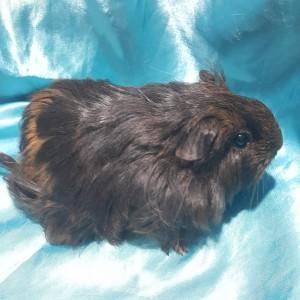 021-0907 Ginepig Sheltie Guinea Pig Dişi
