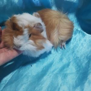 021-0908 Ginepig Peruvian Guinea Pig Dişi