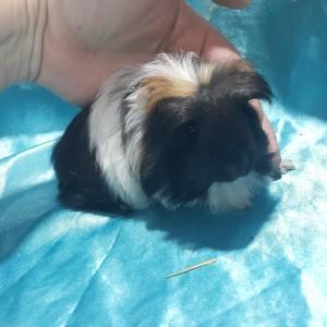 021-0912 Ginepig Coronet Guinea Pig Erkek