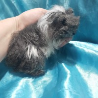 021-0913 Ginepig Coronet Guinea Pig Erkek