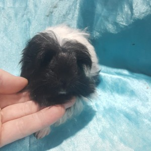 021-0914 Ginepig Coronet Guinea Pig Erkek