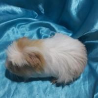 021-1005 Ginepig Coronet Guinea Pig Erkek Yetişkine Yakın