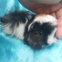 021-1008 Ginepig Peruvian Guinea Pig Erkek