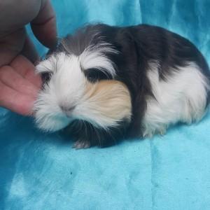021-1009 Ginepig Coronet Guinea Pig Erkek