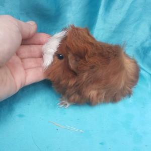 021-1011 Ginepig Peruvian Guinea Pig Dişi