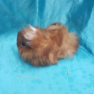021-1013 Ginepig Peruvian Guinea Pig Dişi