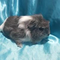 021-1016 Ginepig Coronet Guinea Pig Erkek