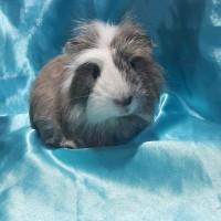 021-1017 Ginepig Coronet Guinea Pig Erkek