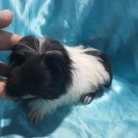 021-1018 Ginepig Coronet Guinea Pig Erkek
