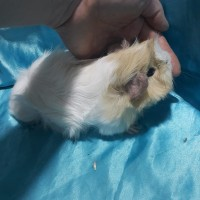 021-1019 Ginepig Peruvian Guinea Pig Erkek