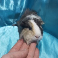 021-1021 Ginepig Sheltie Guinea Pig Erkek