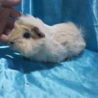 021-1023 Ginepig Peruvian Guinea Pig Erkek