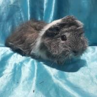 021-1024 Ginepig Peruvian Guinea Pig Erkek