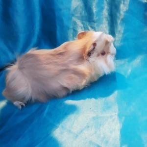 020-0121 Ginepig Peruvian Guinea Pig Erkek ( gönderim + 0.5 kg yem ücrete dahil)