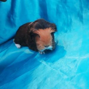 020-0128 Ginepig Coronet Guinea Pig Erkek