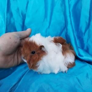 020-0201 Ginepig Peruvian Guinea Pig Dişi