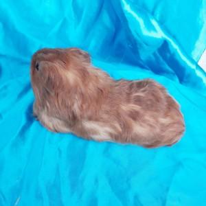 020-0205 Guinea Pig Sheltie Ginepig Dişi