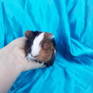 020-0206 Guinea Pig Sheltie Ginepig Dişi