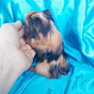 020-0211 Guinea Pig Sheltie Ginepig Dişi